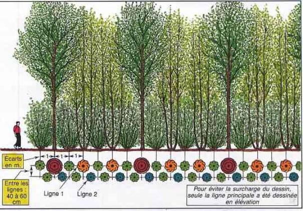 D forestation et probl me du bois de chauffage dans le - Haie brise vue croissance rapide ...