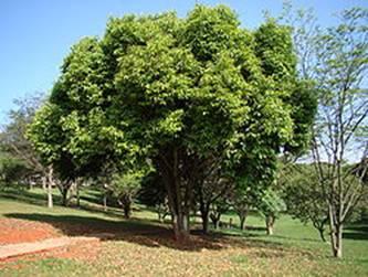 Les arbres de Madagascar pour reboisement